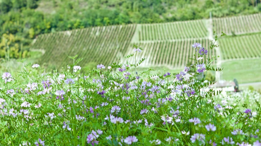nice flowers and vineyards in the background